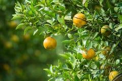 Оранжевые деревья Стоковые Фотографии RF
