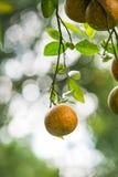 Оранжевые деревья Стоковое Фото