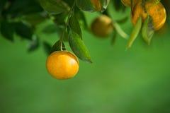 Оранжевые деревья Стоковое Изображение RF