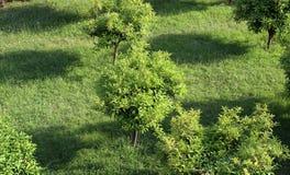 Оранжевые деревья Стоковая Фотография RF