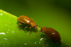 Оранжевые жуки Стоковые Фото