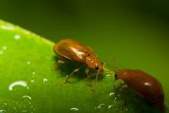 Оранжевые жуки Стоковое Изображение