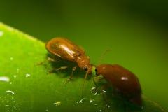 Оранжевые жуки Стоковая Фотография