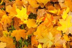 Оранжевые листья осени  Стоковая Фотография