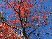оранжевые листья падения и голубое небо стоковое фото rf