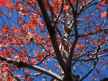 оранжевые листья падения и голубое небо стоковые изображения rf