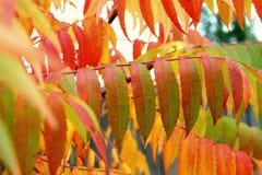 Оранжевые листья typhina Rhus осени Стоковые Изображения