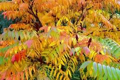 Оранжевые листья typhina Rhus осени Стоковые Фото