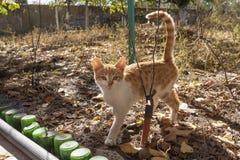 Оранжевые и белые прогулки котенка на желтой траве осени стоковое фото