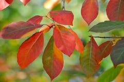 Оранжевые и зеленые листья осени Стоковые Изображения