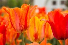 Оранжевые и красные тюльпаны весной Голландия Мичиган Стоковое фото RF