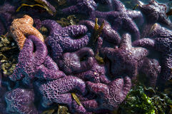 Оранжевые и фиолетовые морские звезды, остров ванкувер Стоковое фото RF