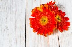 Оранжевые красочные цветки gerbera Стоковое Изображение RF