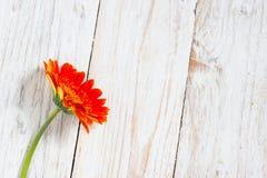 Оранжевые красочные цветки gerbera Стоковое фото RF