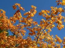 Оранжевые кленовые листы против голубого неба Стоковое Фото