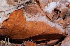 Оранжевые лист maole лежат на земле и покрытый с снегом и изморозью стоковое фото rf