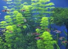Оранжевые небольшие рыбы в экзотическом плавании природы в глубоководье с голубой предпосылкой с зеленым кораллом стоковое фото