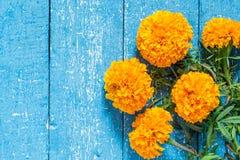 Оранжевые ноготки на голубой деревянной предпосылке Стоковые Изображения RF