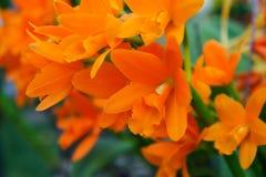 Оранжевые орхидеи закрывают вверх Стоковое Фото