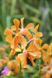 Оранжевые орхидеи /Tropical орхидей стоковые фотографии rf
