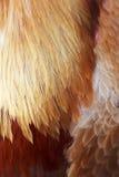 оранжевые пер петуха различных форм Стоковые Изображения