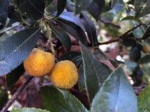 Оранжевые плоды в дереве стоковые изображения rf