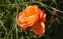 Оранжевые розы в летнем дне Стоковая Фотография RF