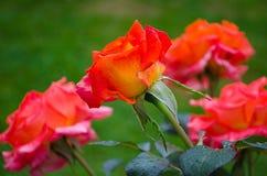 Оранжевые розы на ветви с зелеными листьями outdoors Стоковые Фото