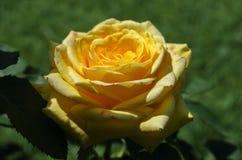 Оранжевые розы на ветви с зелеными листьями outdoors Стоковые Изображения RF