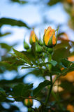 Оранжевые розы на ветви с зелеными листьями outdoors Стоковые Изображения