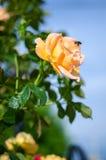 Оранжевые розы на ветви с зелеными листьями outdoors Стоковое Фото