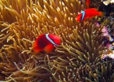 Оранжевые рыбы клоуна в щупальцах actinia Фото рыб коралла подводное стоковые фотографии rf