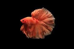 Оранжевые рыбы betta Стоковые Изображения RF