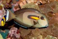 Оранжевые рыбы Surgeonfish диапазона (olivaceus Acanthurus) морские Стоковая Фотография RF