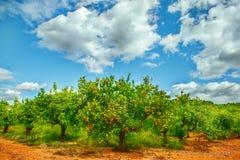 Оранжевые сады Стоковая Фотография RF