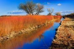 Оранжевые тростники отражают цвета осени на национальном парке Bosque del апаша в декабре стоковое изображение rf