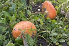 Оранжевые тыквы растут на кровати стоковое фото rf