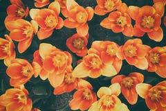Оранжевые тюльпаны сверху стоковая фотография