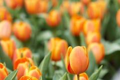 Оранжевые тюльпаны Стоковые Фотографии RF