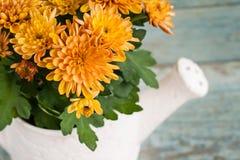 Оранжевые хризантемы в керамический мочить сада Стоковая Фотография RF