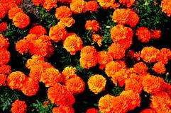 Оранжевые цветки в саде стоковая фотография