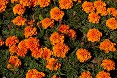 Оранжевые цветки в flowerbed. Стоковое Изображение RF