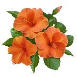 Оранжевые цветки и бутоны гибискуса Стоковое Изображение RF