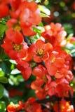 Оранжевые цветки на ветви дерева в цветени стоковые изображения