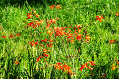 Оранжевые цветки на предпосылке зеленой травы Стоковая Фотография RF