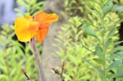 Оранжевые цветки растут вверх от мягкого черенок Стоковое фото RF