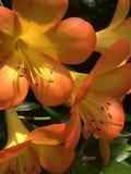 Оранжевые цветки с желтым цветом Стоковое Изображение