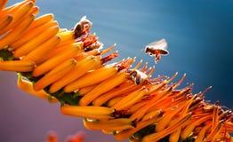 Оранжевые цветок и пчела Стоковая Фотография RF
