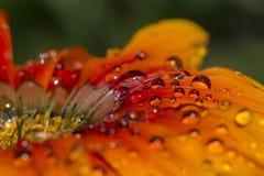 Оранжевые цветок и waterdrops Стоковые Изображения