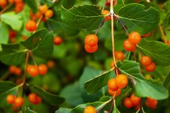 Оранжевые ягоды на ветви стоковое фото